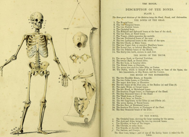 "Skeleton diagram in ""A Manual of the Dissection of the Human Body"" by Luther Holden (1851) (via Wellcome Library)"
